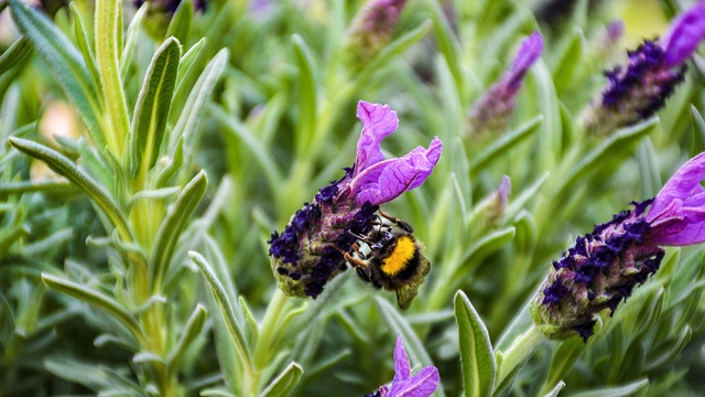 How to prune spanish lavender